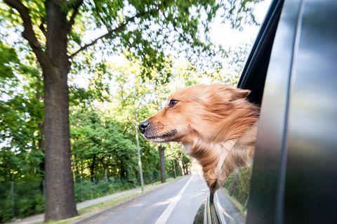 Perro asomado a la ventanilla del coche