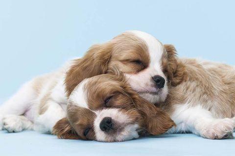 perros cachorros durmiendo