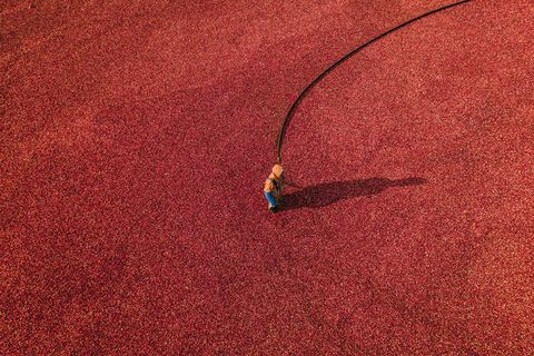 person working in a cranberry bog, massachusetts, united states of america