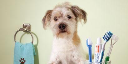 Product, Carnivore, Dog, Brush, Dog breed, Toy dog, Stationery, Puppy, Turquoise, Pet supply,