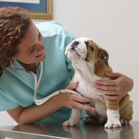 Veterinarian Examining Smiling Bulldog Puppy