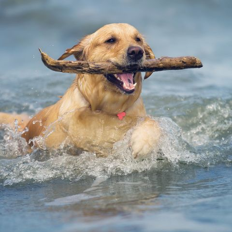 Beach Dog... Fetch Your Stick!