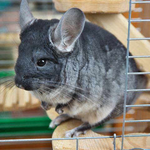 Gray little chinchilla in a cage.