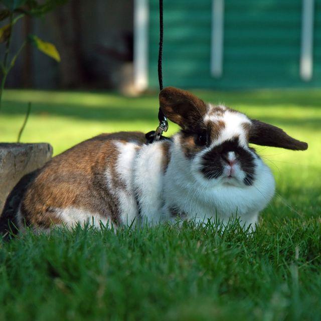 pet rabbit breeds - holland lop