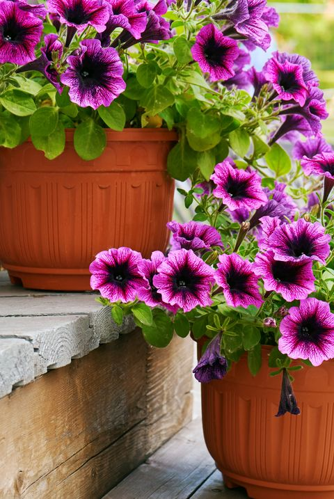 Petunia flowers growing in flower pots on the wooden staircase outdoors