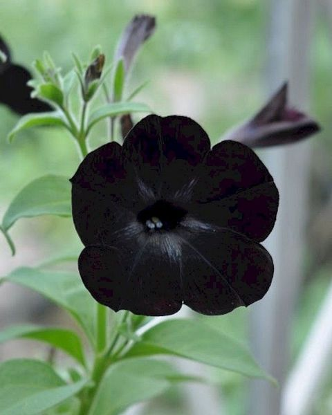 petunia negra
