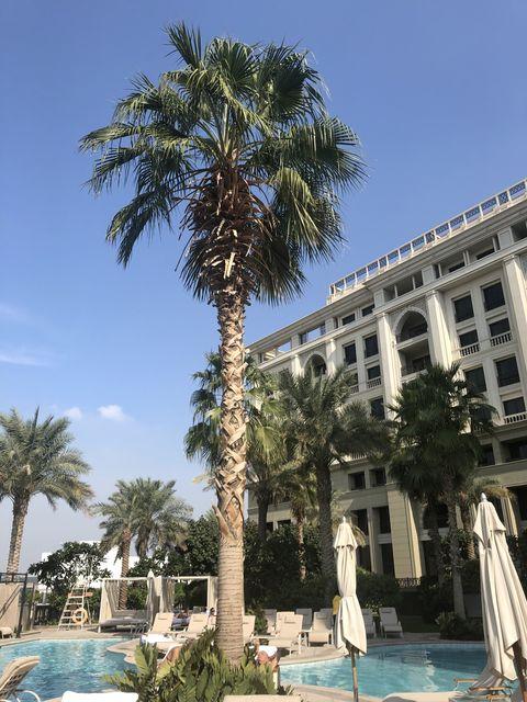 Tree, Palm tree, Desert Palm, Arecales, Woody plant, Date palm, Plant, Building, Roystonea, Attalea speciosa,