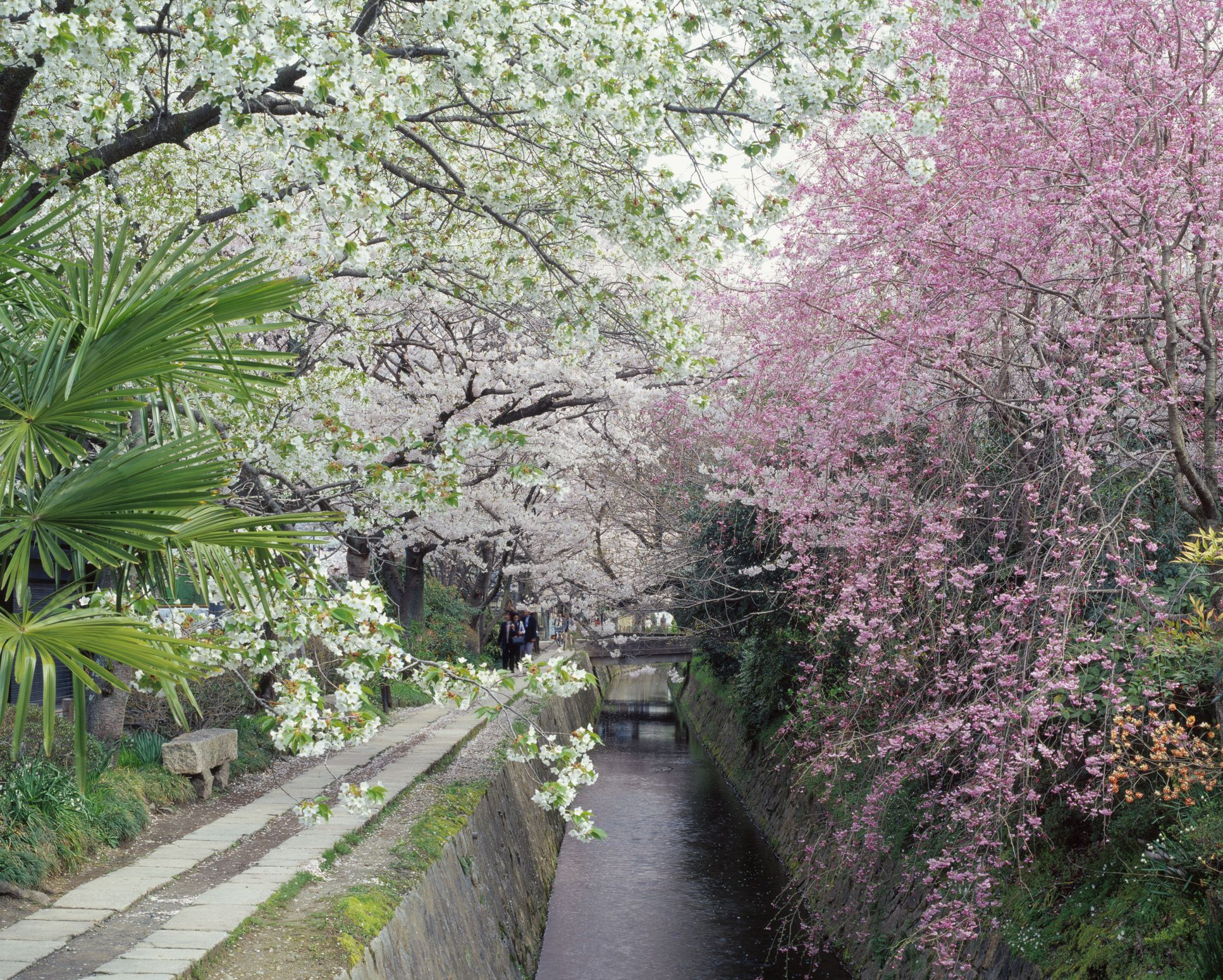 Philosophical way where a flower blooms, Kyoto-shi, Kyoto