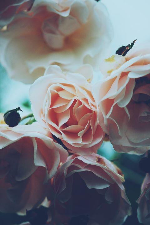 White, Garden roses, Flower, Petal, Rose, Pink, Rose family, Beauty, Plant, Rose order,