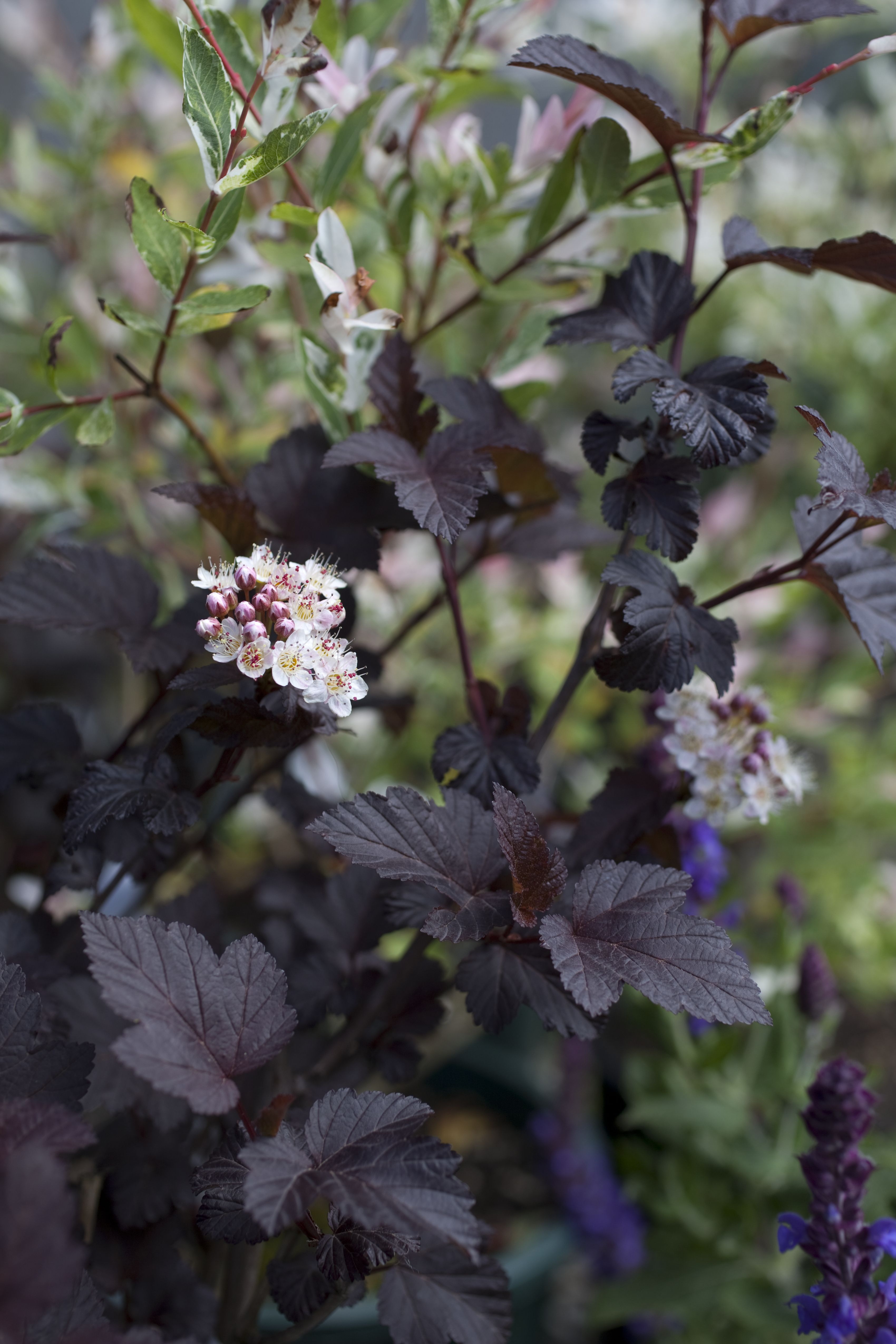Physocarpus diabolo, Diabolo Ninebark