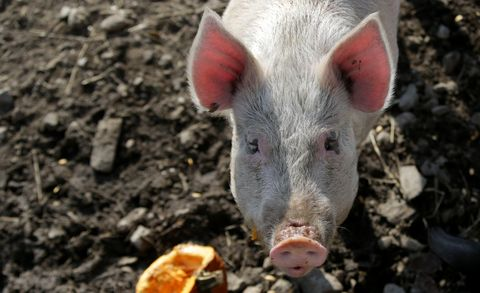 MSPCA Pig With Pumpkin