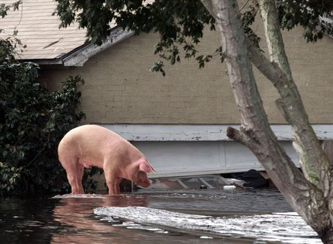 A pig stands on the roof of a car to escape flood