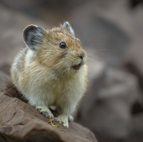 smallest animals on the planet, pika in kananaskis