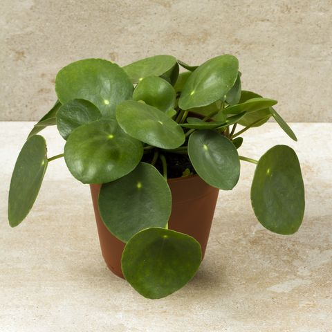 Pilea peperomioides, money plant in the pot. Single plant, beige background.