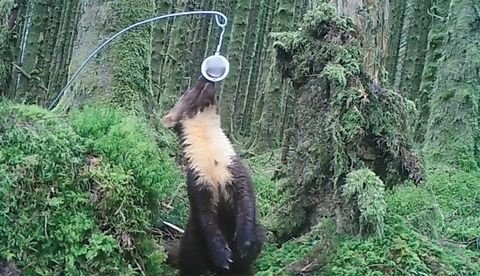 Pine Martens spotted in two Welsh woodlands for the first time