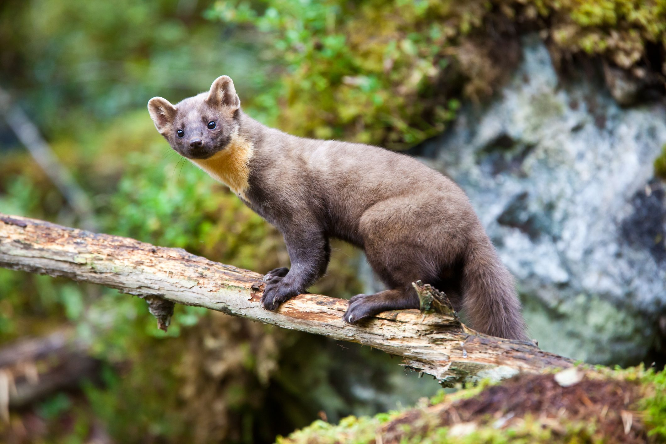 Pine martens have been successfully released into the Forest of Dean
