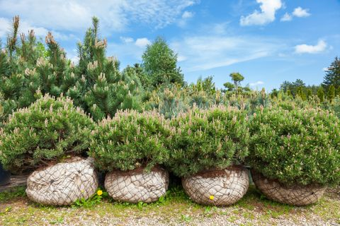 Christmas Tree Not Taking Water.How To Plant A Living Christmas Tree Best Climate Xmas Trees