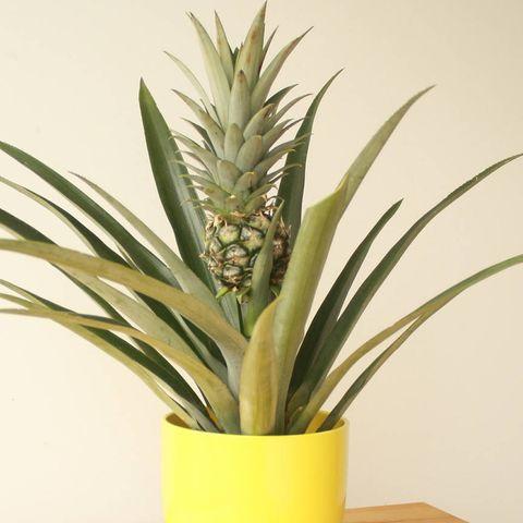 Pineapple Plant Buying Pineapple Indoor Houseplants Ornamental