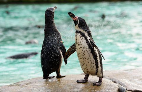 pinguinos san valentin san francisco