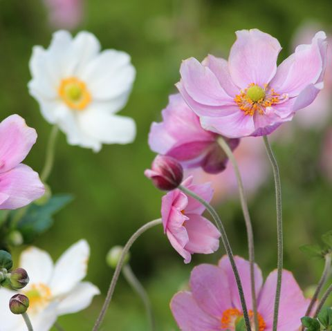 Pink and white Japanese anemone flowers image (Anemone hybrida 'Elegans')