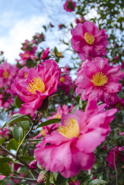 Pink Camellia Trees in Full Bloom