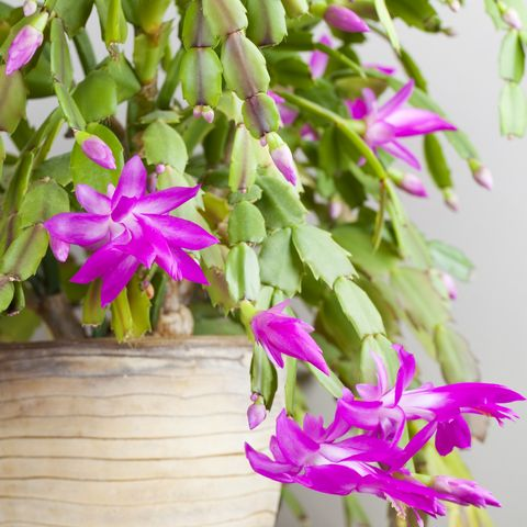 How To Keep Your Christmas Cactus Blooming The Whole Holiday Season