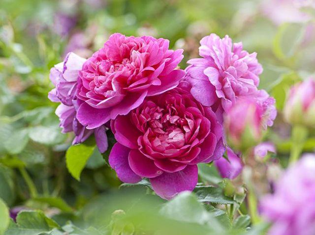 beautiful summer flowering pink roses   rosa 'princess ann'
