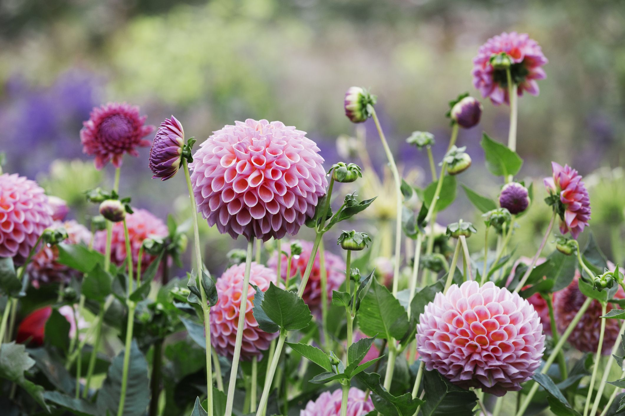 30 Pink Flowers For Gardens Perennials Annuals With Pink Blossoms