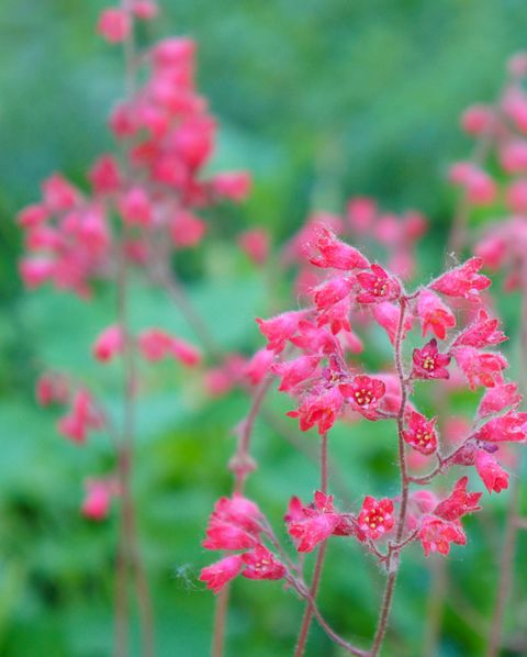 Heuchera sanguinea ruby bells red flowers