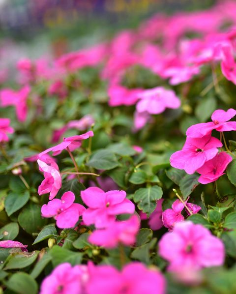 High Angle View Of Pink Impatiens Blooming Outdoors