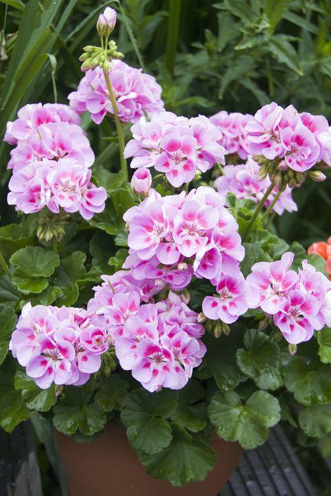 Pink geranium (Pelargonium) 'Sunrise Katinka'