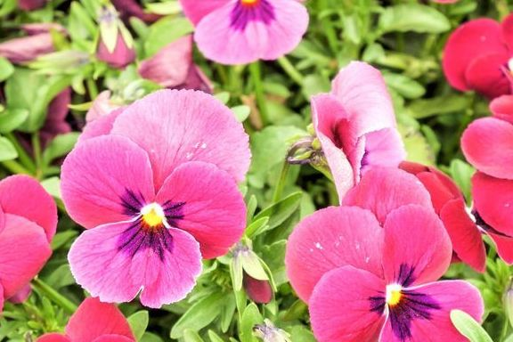 red pansy flowers or pansies blooming in the garden