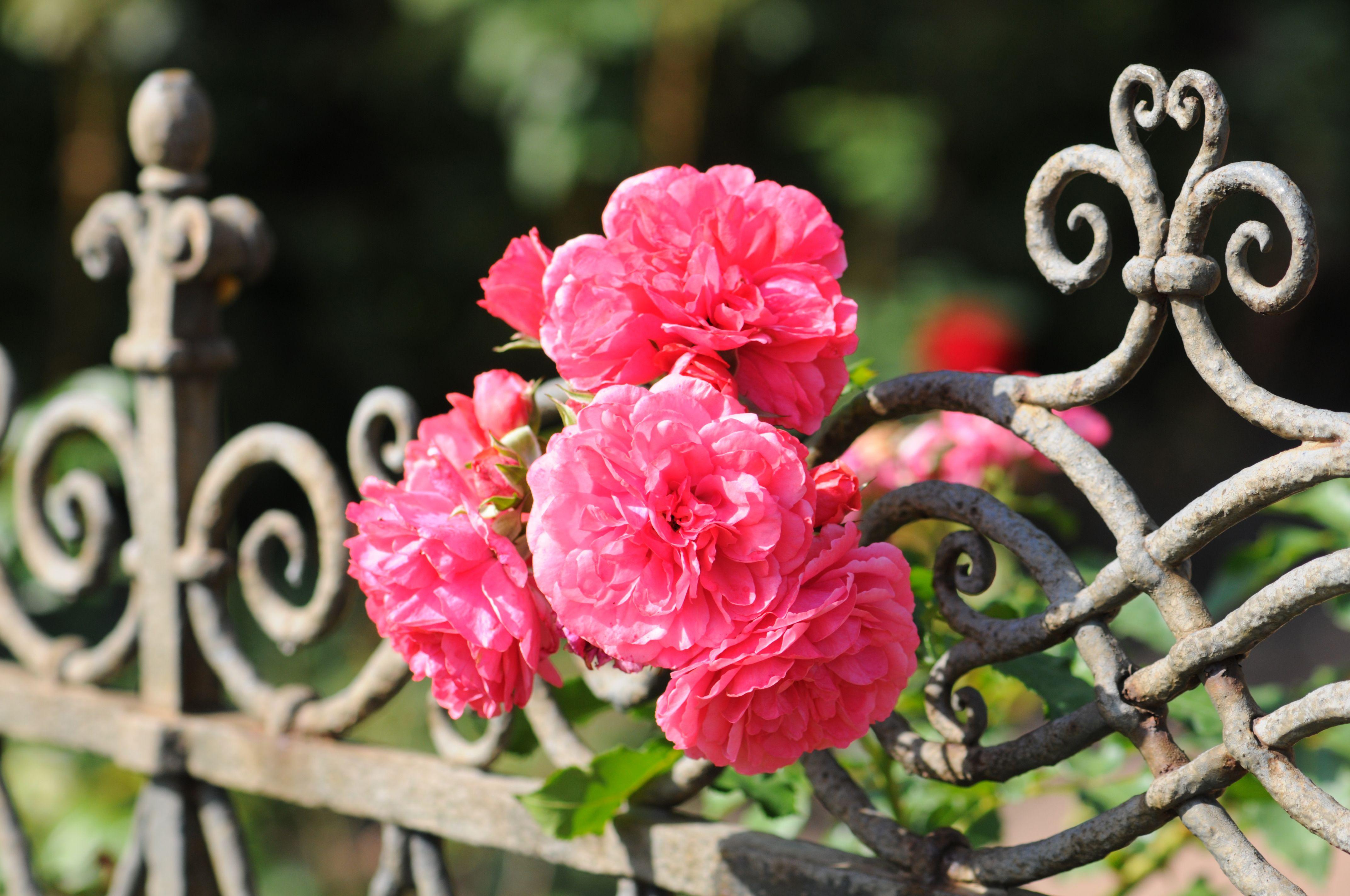 rosa stikkende rose på et gjerde