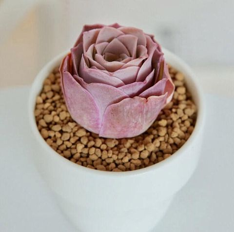 Rare Pink Rose Succulents For Sale On Etsy