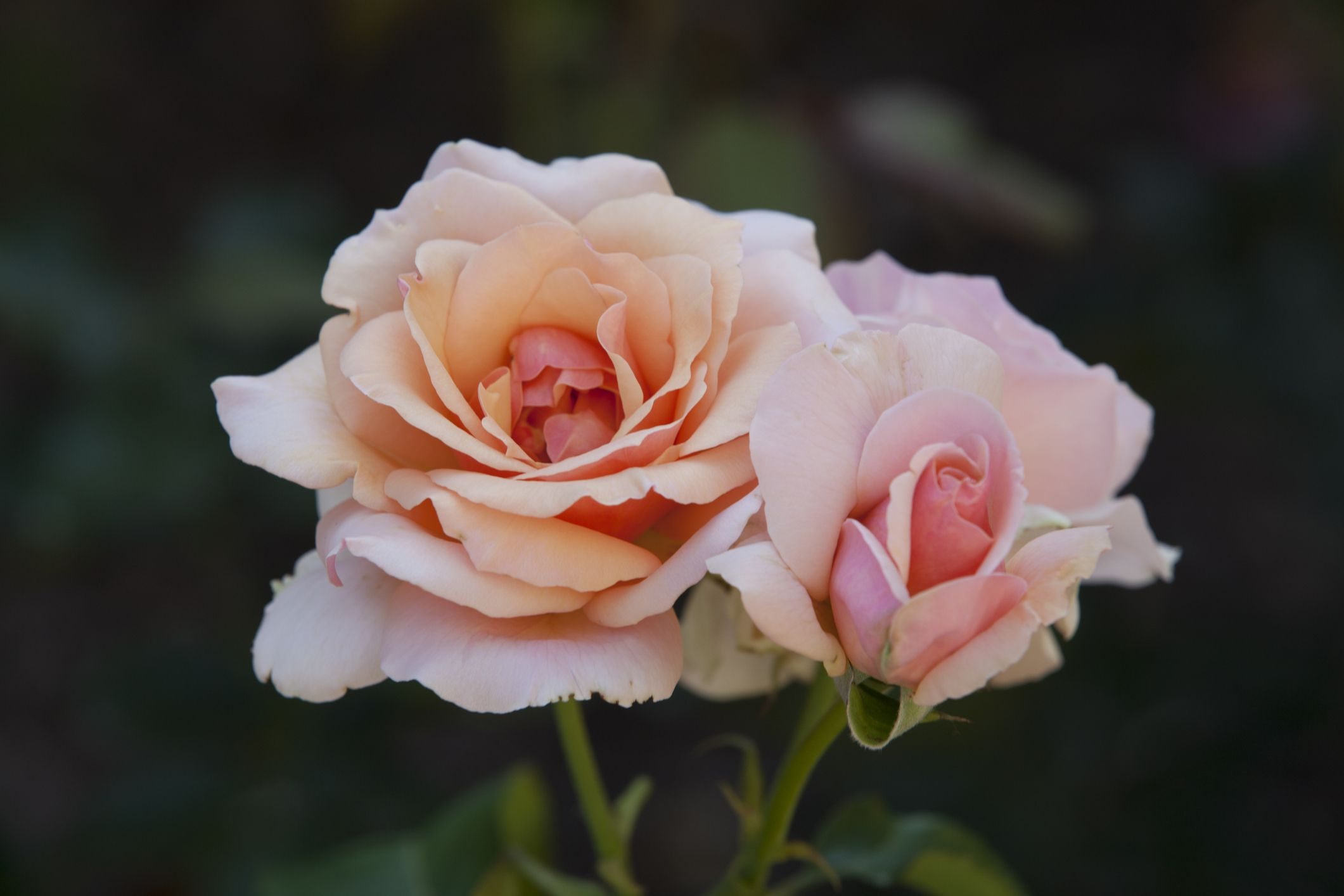 The 3 Types of Roses Every Garden Needs
