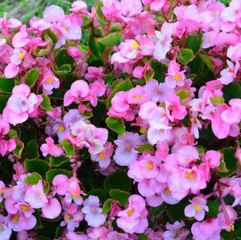 Pink tuberous begonias flowers