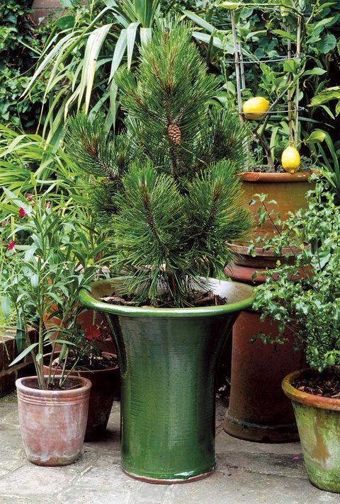 Plantas y Navidad: Pino natural en maceta