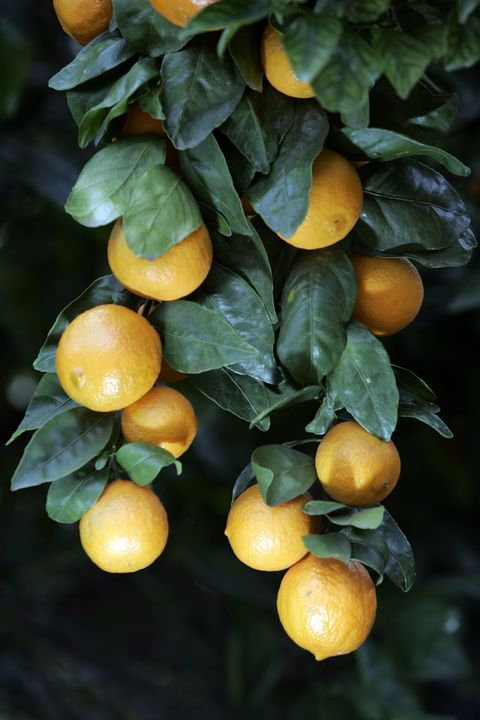 Pixie tangerines hang from the tree at Thacher family Friends Ranch in Ojai.