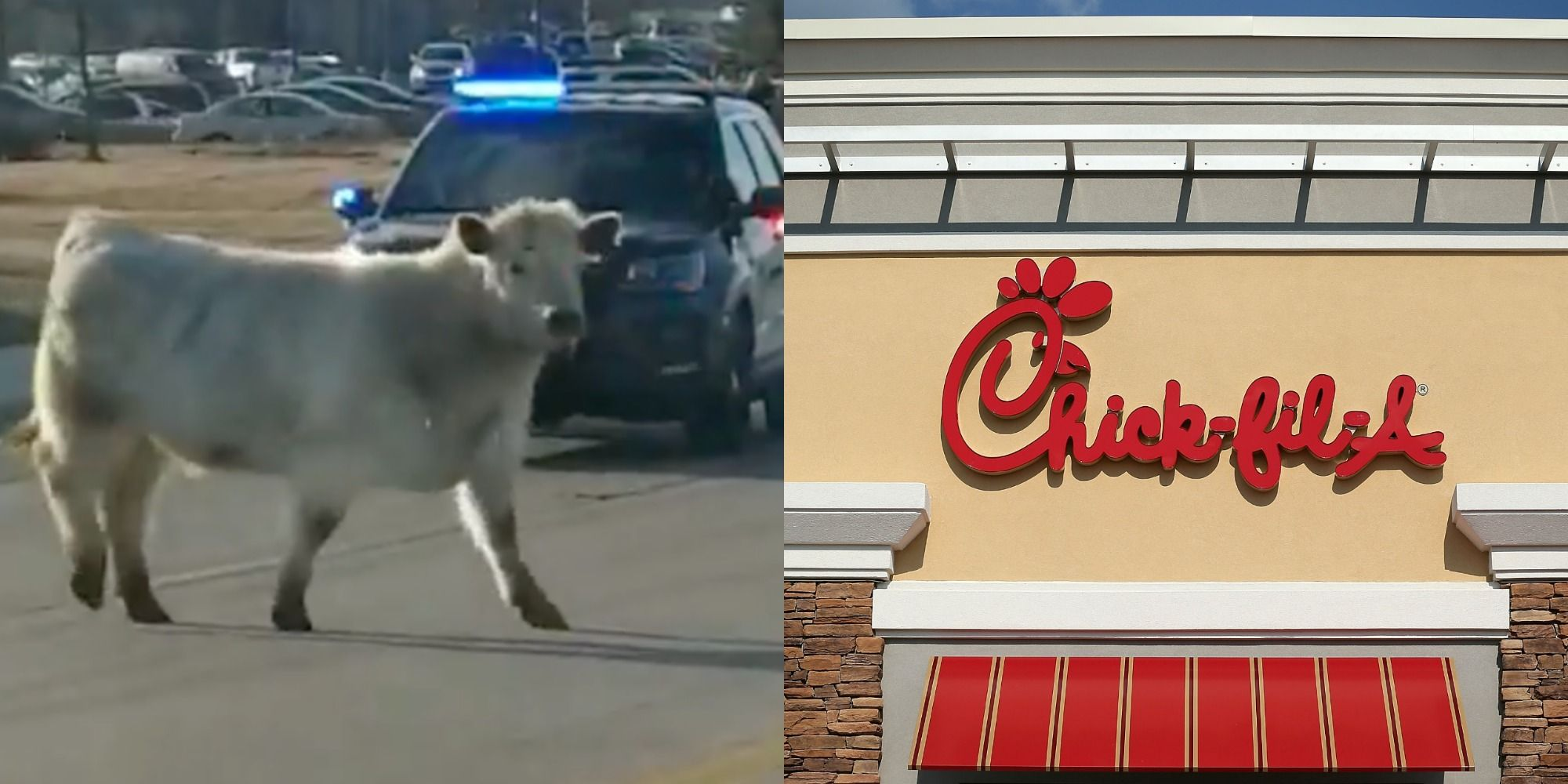 A Cow Was Spotted Running Straight Toward A Chick-fil-A