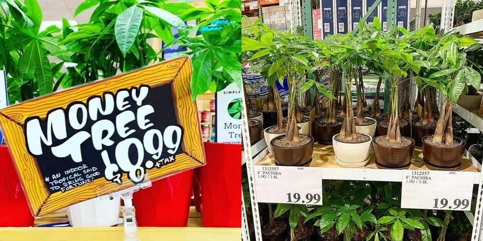 "Trader Joe's And Costco Are Selling ""Money Trees"" Said To Attract Wealth"