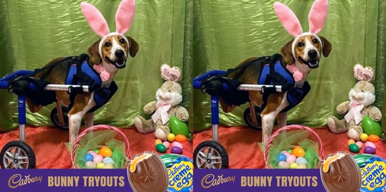 A 2-Legged Dog Named Lieutenant Dan Could Be The Cadbury Bunny