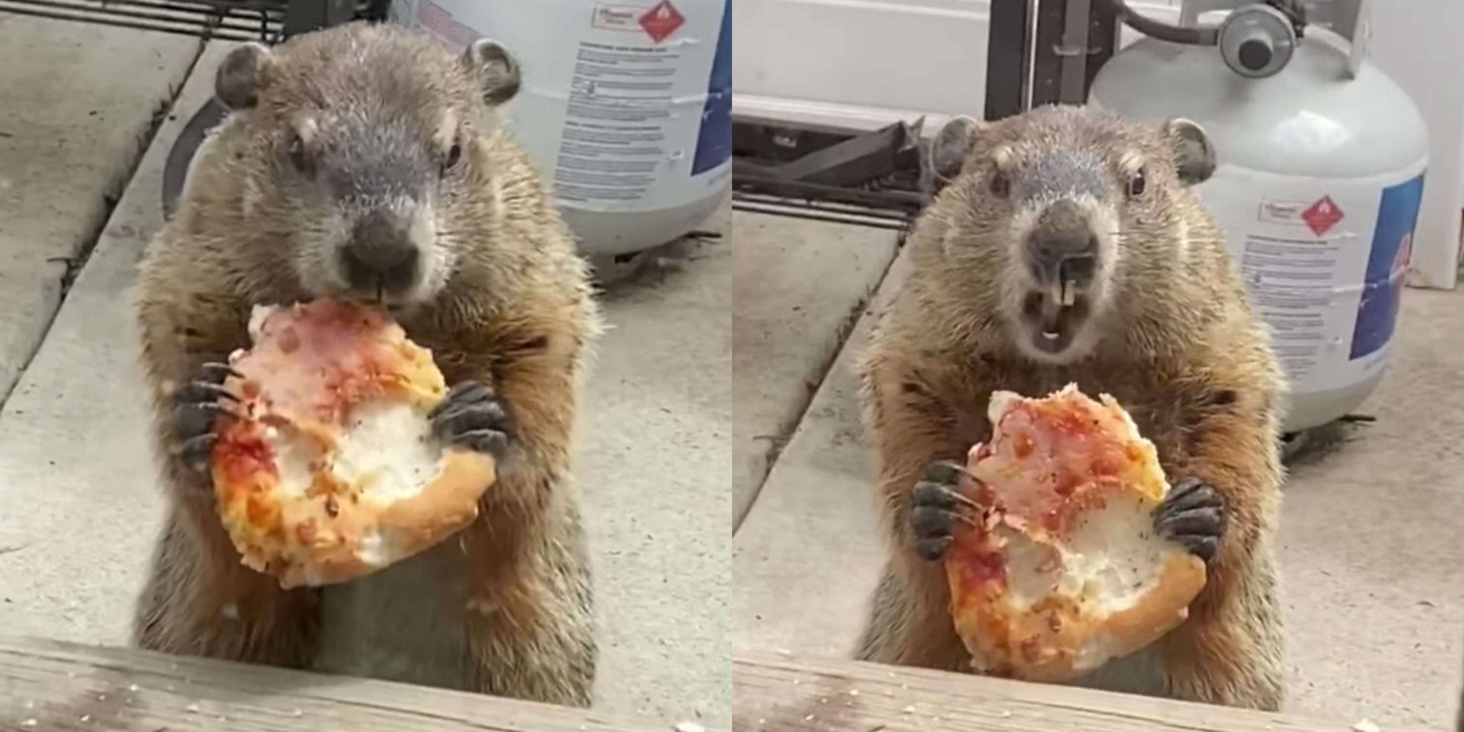 This Groundhog Ate A Slice Of Pizza And People Love This Video