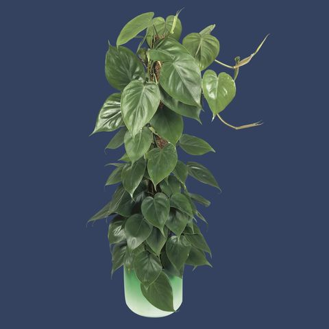 Close-up of a houseplant (Philodendron scandens)