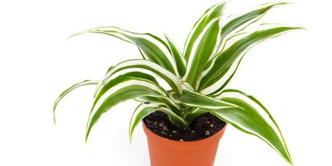 Planten die je nachtrust kunnen verbeteren