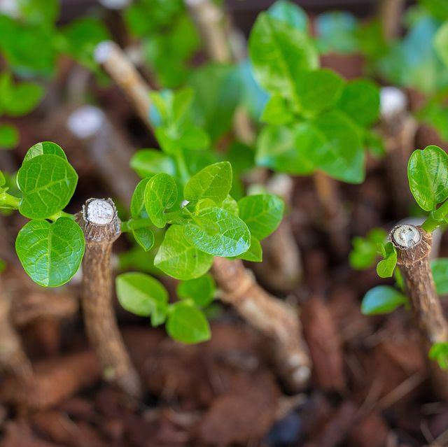 home gardening, plant propagation, hardwood cuttings