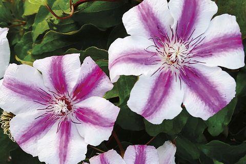 planta con flor clematis