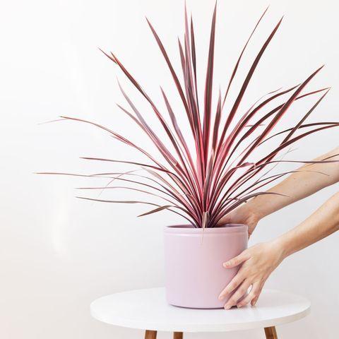 planta cordiline