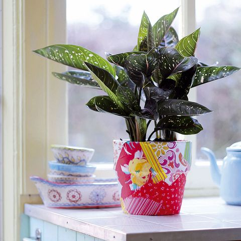 alaonema, una planta interior con follaje bonito
