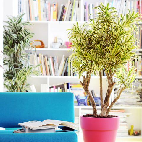 dracaena una planta interior fácil de cuidar