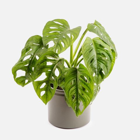 planta monstera adansonii